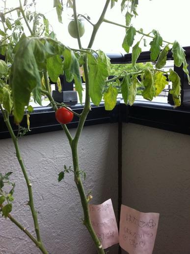 KAE種的小番茄