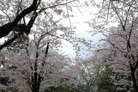 今年氣候比較怪,櫻花還沒全開哩!