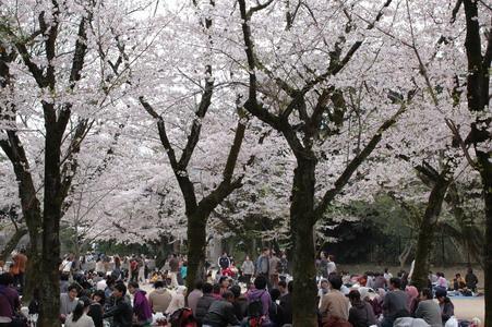 櫻花樹下人好多~