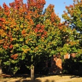 11月時序已入深秋,冬天就要來了,家門口路樹片片紅葉一樹繽紛,德州這牛仔的故鄉真是富庶.