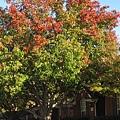 大寶家門口的大樹,一樣秋紅葉落了,四季遞嬗年復一年,這是樹的一生,人不也一樣?