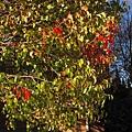 深秋的樹,美麗樹影之一.紅葉乍現.