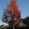 深秋的樹,美麗樹影之二.一樹獨紅.