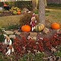 感恩節感恩豐收,門口大樹下也放幾顆南瓜吧.