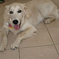 來到Dallas家中有黃金獵犬Ginger和我做伴.