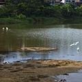 201308a3.白鷺鷥點水而過
