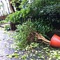 20130713-2.家門口盆栽也倒了