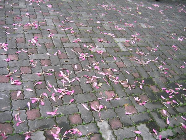 從8月底開花到10月底,繁花落盡秋已去,看巷道滿是落紅。