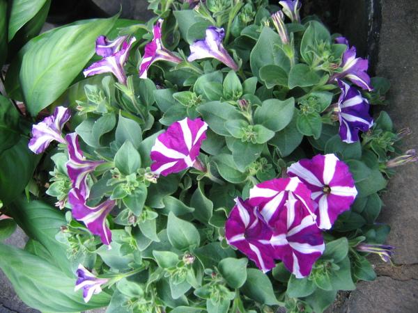 最有精神且時髦的,要屬鑲邊牽牛花了,豔紫色令人驚豔。