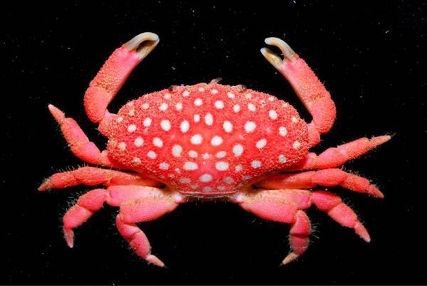 新種草莓蟹