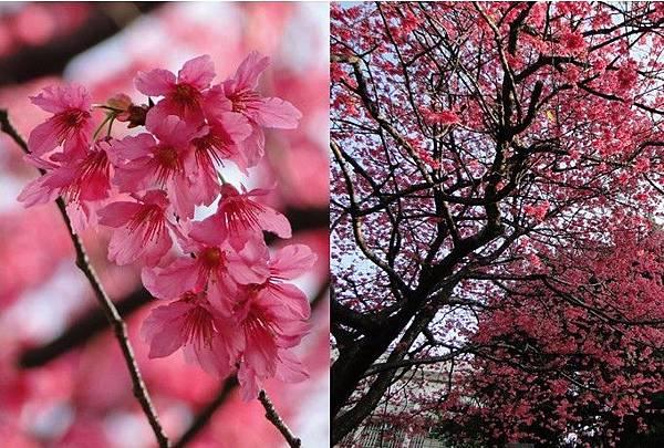 山櫻花-diy