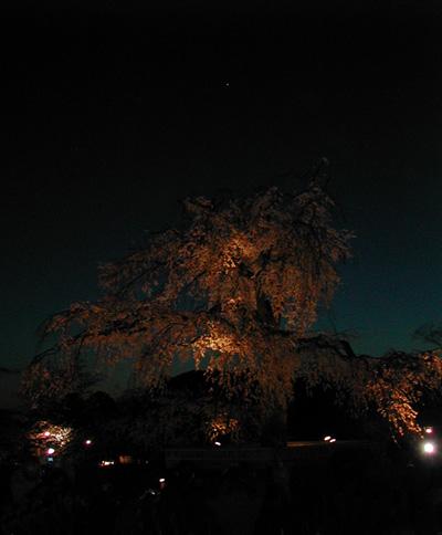 圓山公園夜櫻.jpg