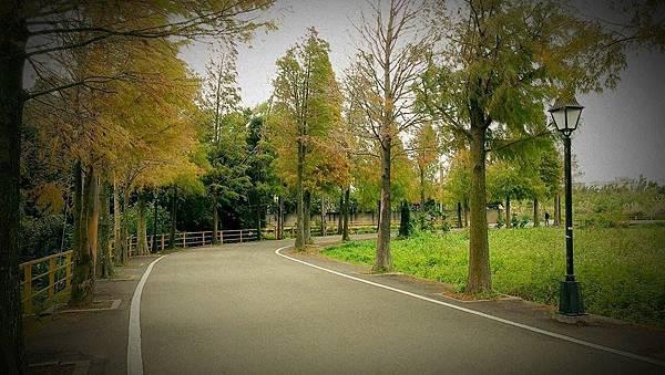 落羽松3.jpg