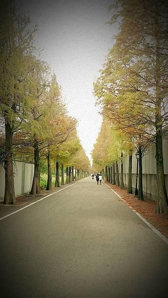 落羽松4.jpg