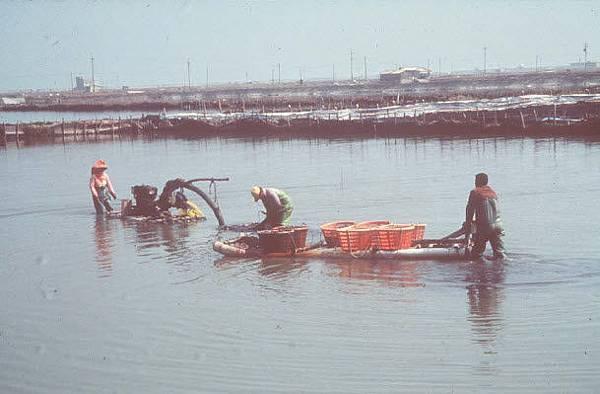 傳統的文蛤採收作業