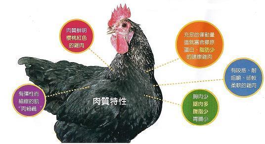黃金食雞肉質特性.jpg