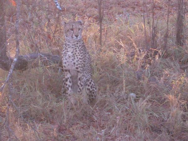 在safari時,有遊客跟司機報有看到豹