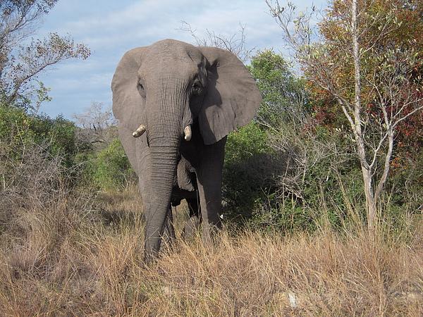 再來是大象