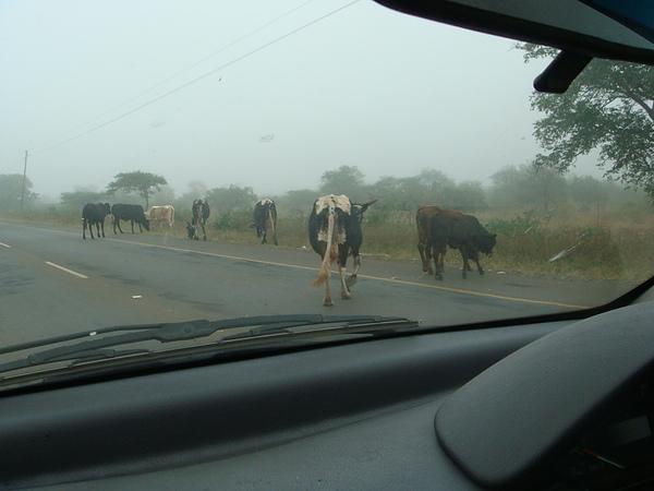 當然不免有牛、羊要過馬路…