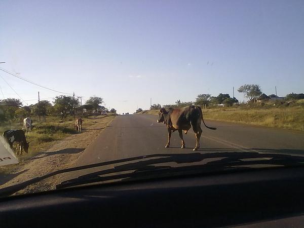 回史瓦的路上,牛還是要過馬路的~~