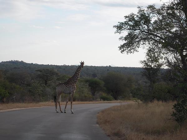 不過後來導遊說,長頸鹿的腳超有力。