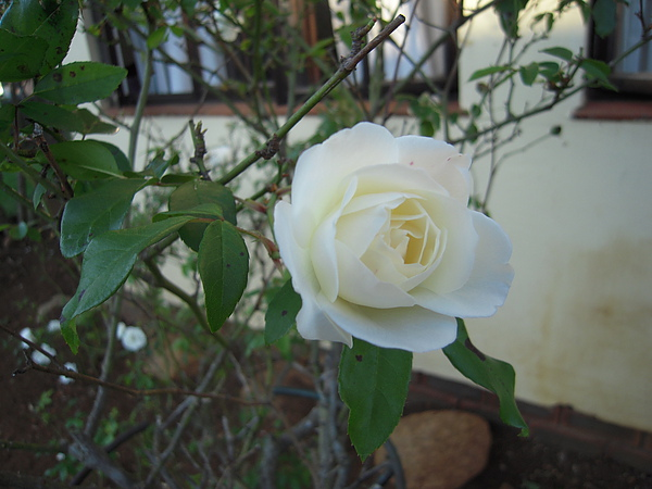 這……應該是玫瑰吧~~