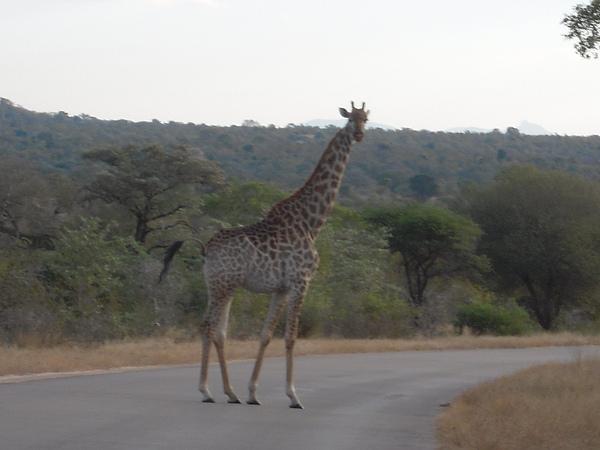 長頸鹿走路超優雅的。