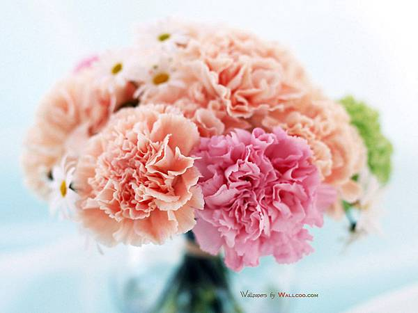 Carnation_flower_photo__14007