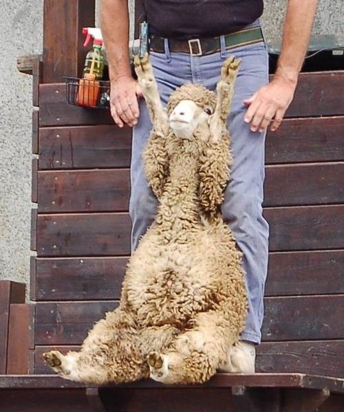 清境-35超cute小綿羊.jpg