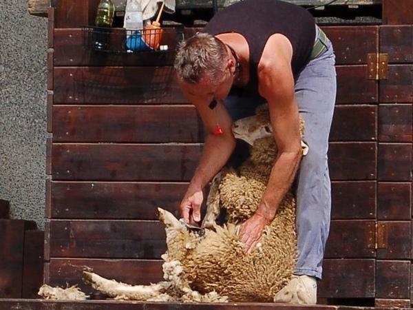清境-37小綿羊脫衣.jpg