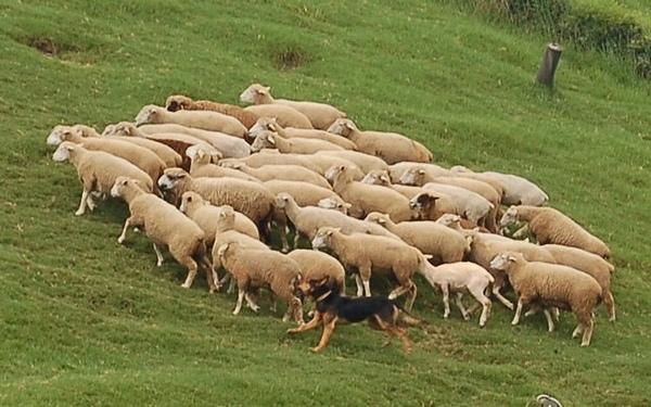 清境-38牧羊犬與羊.jpg