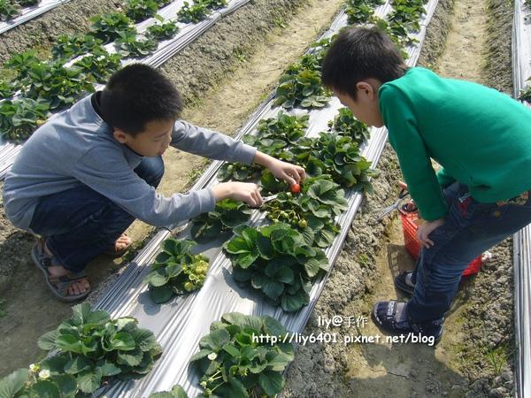 採草莓2.jpg