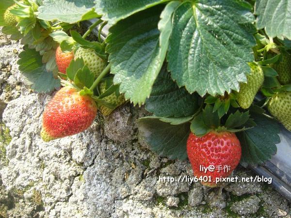 採草莓3.jpg
