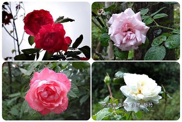 8紅薔薇a10008.jpg