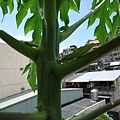 木瓜的花苞