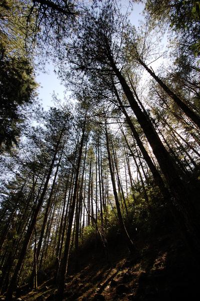 巨樹參天.jpg