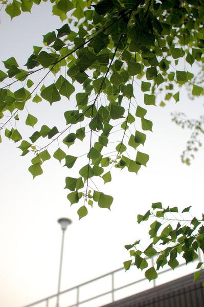 綠葉.jpg