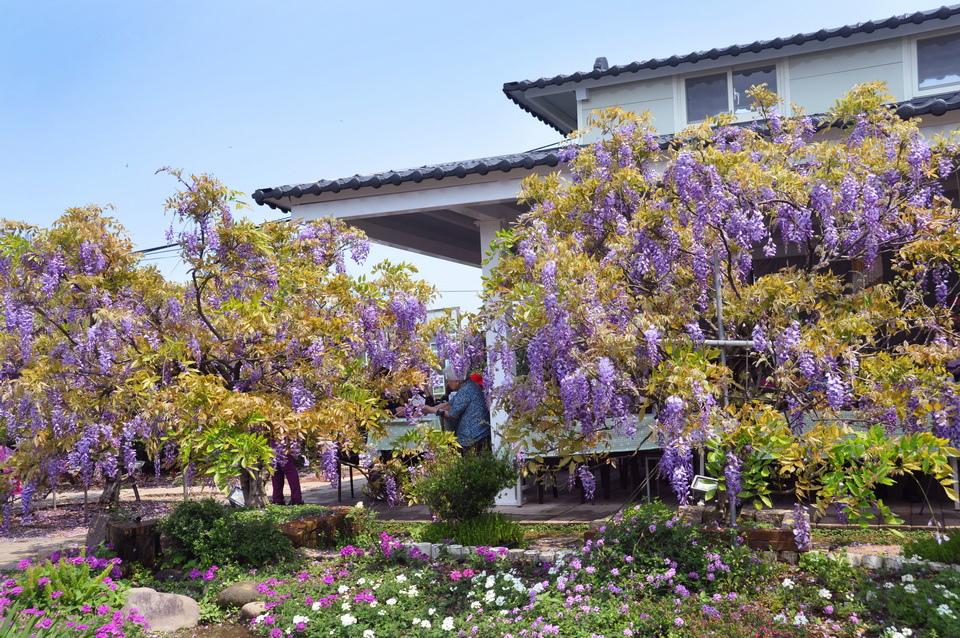 浪漫的紫色之春08_調整大小.jpg