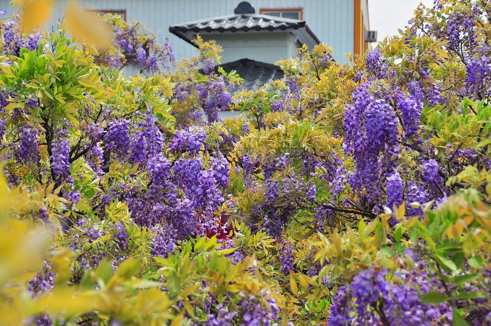 浪漫的紫色之春11_調整大小.JPG