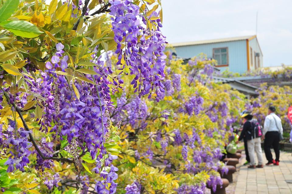 浪漫的紫色之春12_調整大小.JPG