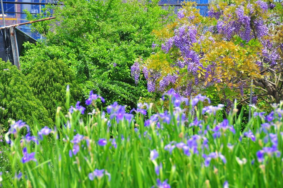 浪漫的紫色之春16_調整大小.JPG