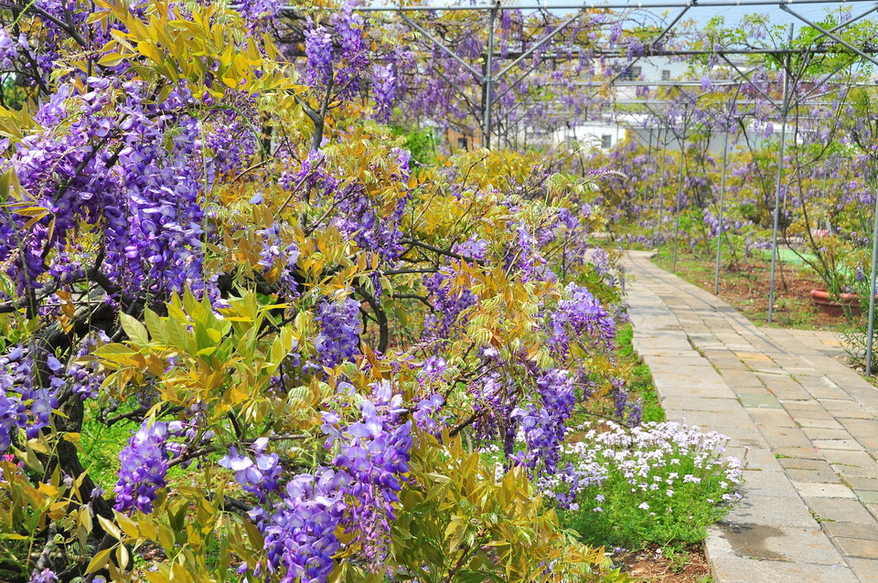 浪漫的紫色之春18_調整大小.JPG