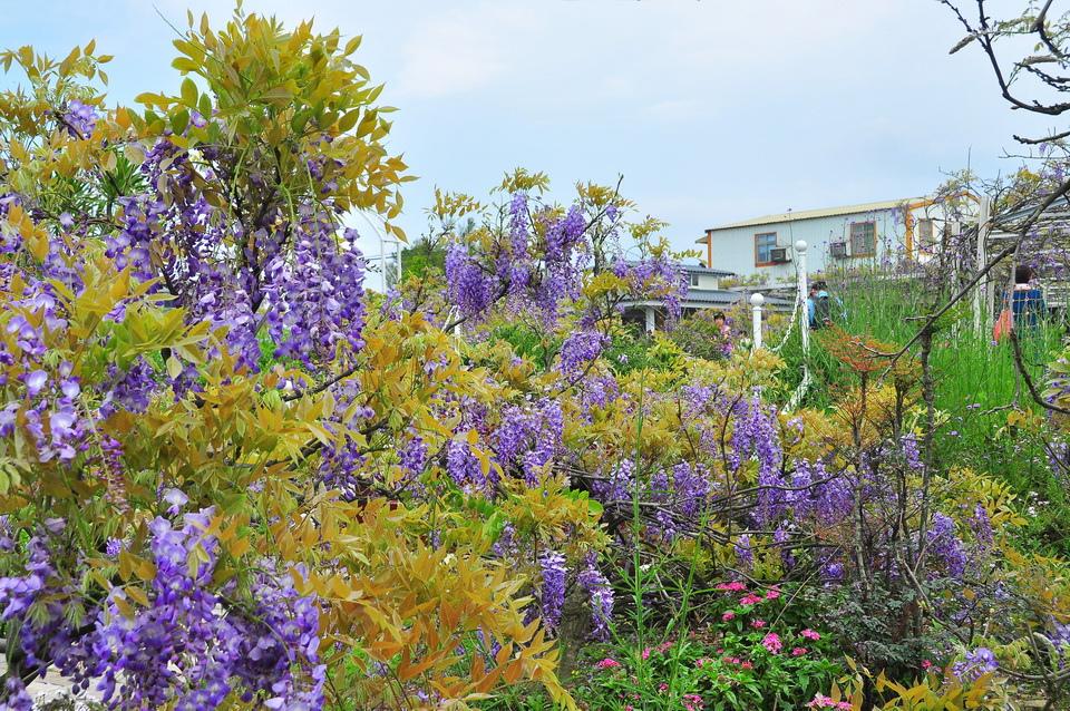 浪漫的紫色之春19_調整大小.JPG