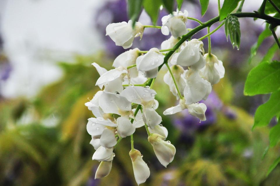 浪漫的紫色之春29_調整大小.JPG