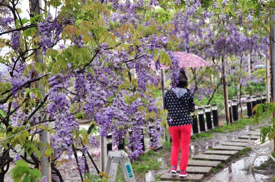 浪漫的紫色之春30_調整大小.JPG