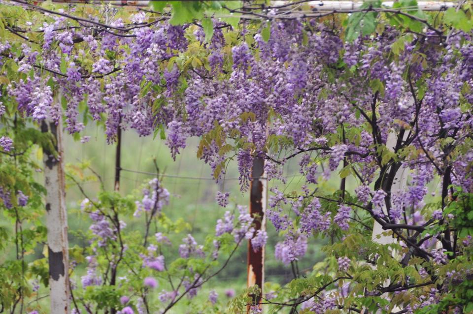 浪漫的紫色之春32_調整大小.JPG