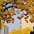 黃花風鈴木006.jpg