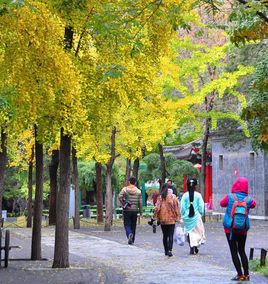 2015北京大觀院銀杏019.jpg
