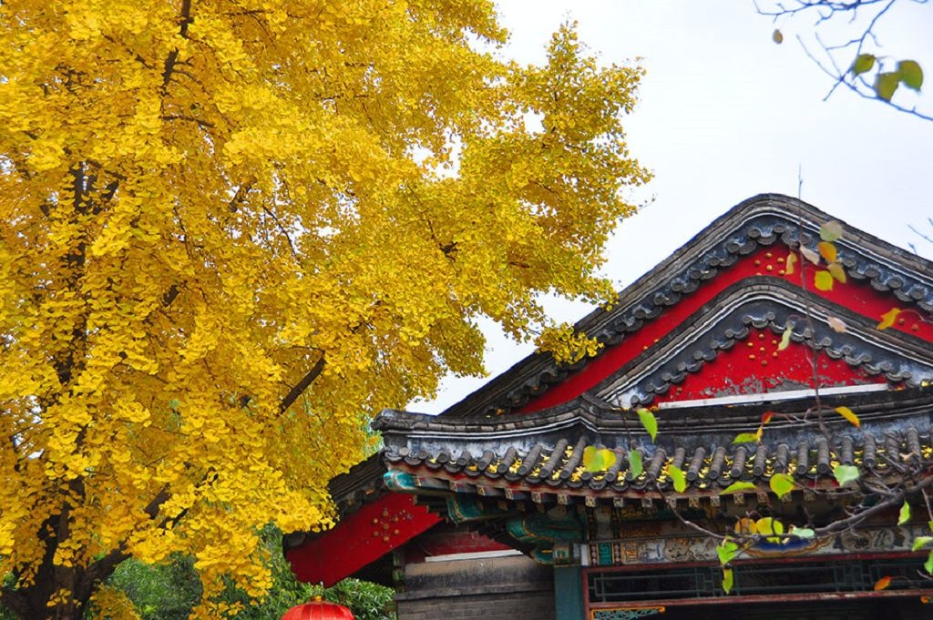 2015北京大觀院銀杏020.jpg