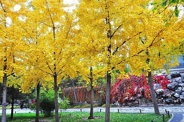 2015北京大觀院銀杏022.jpg